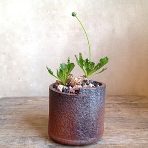 オトンナ  ツベローサ   Othonna tuberosa