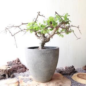 コミフォラ   クア    no.002    Commiphora kua
