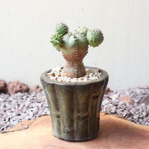 ユーフォルビア  オベサ 梵天   no.041   Euphorbia 'Obesa Bonten'
