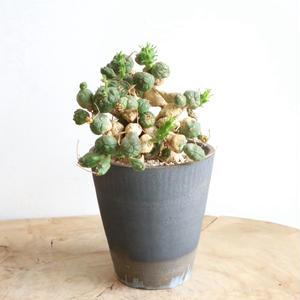 ユーフォルビア グロボーサ  no.007     Euphorbia globosa
