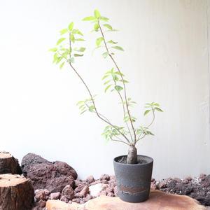 ユーフォルビア  オアテシー   no.001  Euphorbia oatesii