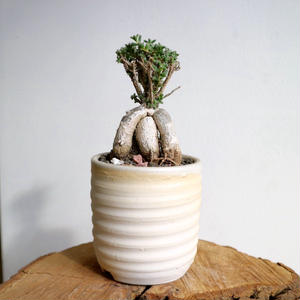 トリコディアデマ    ブルボスム  no.003   Trichodiadema bulbosum