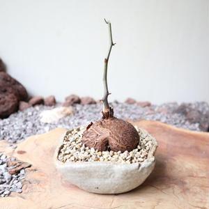 ディオスコレア   亀甲竜   no.019   Dioscorea elephantipe
