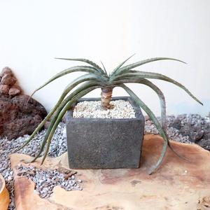 アロエ スプラフォリアータ   no.005   Aloe suprafoliata