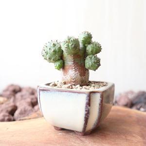 ユーフォルビア  オベサ 梵天   no.039   Euphorbia 'Obesa Bonten'