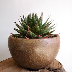 アロエ   王妃綾錦    Aloe aristata 'Ohiayanishiki'