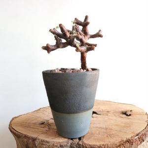 ペラルゴニム    ミラビレ no.004  Pelargonium mirabile