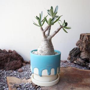 パキポディウム グラキリス    ×    宮木 英至    Pachypodium rosulatum var. gracilius