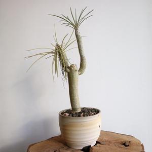 セネシオ  クレイニア   no. 001  Senecio kleinia