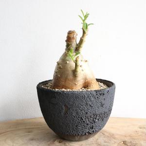 パキポディウム  サキュレンタム    no.005    Pachypodium succulentum