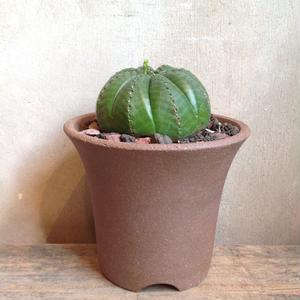 ユーフォルビア  メロフォルミス  Euphorbia  meloformis