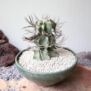アストロフィツム   カプリコルネ   大鳳玉   no.003   Astrophytum capricorne