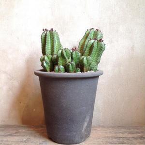 ユーフォルビア アノプリア    Euphorbia anoplia