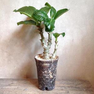 パキポディウム  ウィンゾリー   no.02  Pachypodium baronii var. windsorii