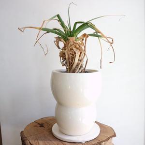 アロエ   no.001  Aloe   nutii