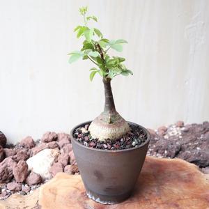 アデニア   グラウカ  no.014   Adenia glauca