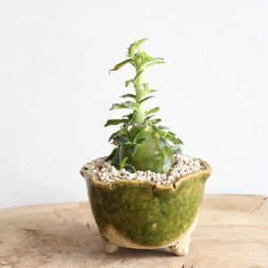 ドルステニア   ヒルデブランドティー f. クリスプム  no.002   Dorstenia hildebrandtii f. crispum