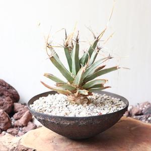 レウクテンベルギア  晃山   no.012   Leuchtenbergia principis