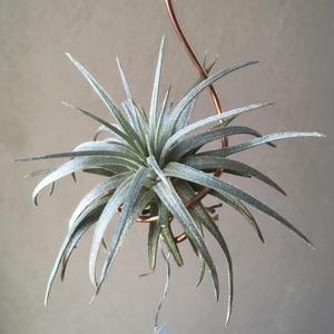 Tillandsia Magnusiana - thick leaf form