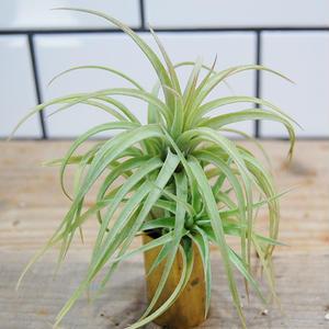 Tillandsia Crown Jewel (T. ionantha Huamelula X T. abdita) チランジア・クラウンジュエル