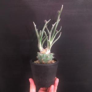 Astrophytum caput-medusae アストロフィツム カプトメデューサ