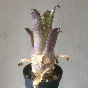 Hohenbergia leopoldo horstii × Sp357  レオポルドホルスティ × SP357