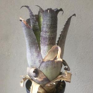 Hohenbergia leopoldo horstii レオポルドホルスティ
