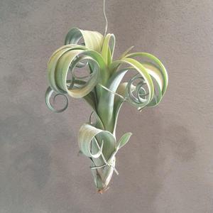 Tillandsia Curly Slim (Intermedia x Streptophylla)