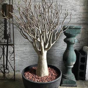 アデニウム アラビカム 特選枝ぶりの素晴らしい株