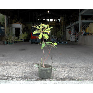 スワンプバンクシア  H0.8m
