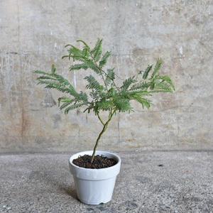 アカシア カルディオフィラ 井澤製陶 White Pot(受け皿付き)