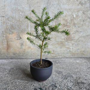 ヒースバンクシア 伝市鉢植え(黒色)
