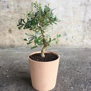 シルバーバンクシア Timber pot