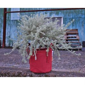 ウエストリンギア モーニングライト 刈り込み仕立て ルーツポーチ2ガロンレッド植え