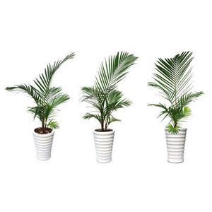 観葉植物素材 アレカヤシ 8kp0001
