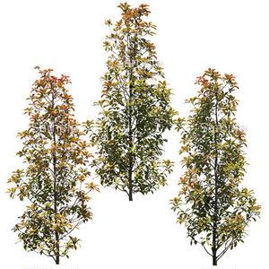 3本樹木(アイレベル)  レッドロビン 23_002
