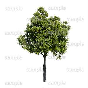 鳥瞰樹木    Bird-eye_25-マテバシイ-LithocarpusEdulis