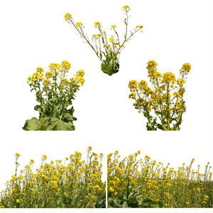 菜の花 切り抜き素材 H_020