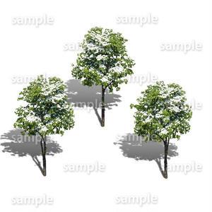 鳥瞰3本樹木    Bird-eye_04  -ヤマボウシ-JapaneseFloweringDogwood