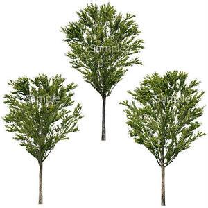 3本樹木(アイレベル) カツラ 23_015