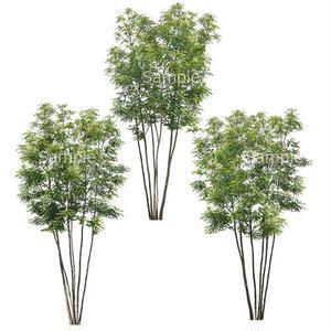 3本樹木(アイレベル) シマトネリコ 23_006