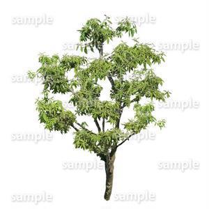 鳥瞰樹木    Bird-eye_17-シラカシ-Bamboo-LeafedOak
