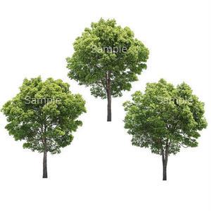 3本樹木(アイレベル) クスノキ 23_017