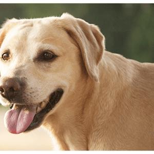 【記事販売】人気の犬「ラブラドール・レトリーバー」の紹介記事テンプレート(約100文字)