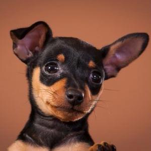 【記事販売】人気の犬「ミニチュア・ピンシャー」の紹介記事テンプレート(約100文字)