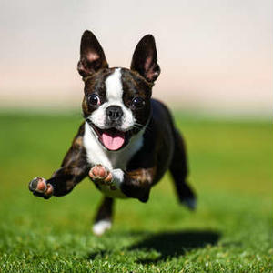 【記事販売】人気の犬「ボストン・テリア」の紹介記事テンプレート(約100文字)