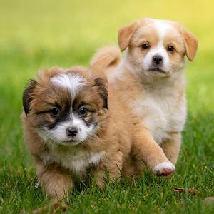 【記事販売】人気の犬ランキング25種以上記事テンプレート(約2500文字以上)