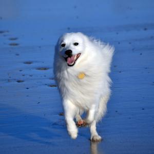 【記事販売】人気の犬「日本スピッツ」の紹介記事テンプレート(約100文字)