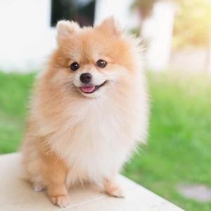 【記事販売】人気の犬「ポメラニアン」の紹介記事テンプレート(約100文字)