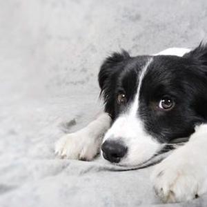 【記事販売】人気の犬「ボーダー・コリー」の紹介記事テンプレート(約100文字)